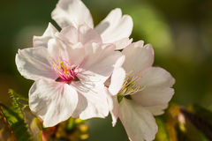 Macro view of three pink cherry flowers Royalty Free Stock Photography