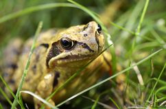 Marsh frog Pelophylax ridibundus. Macro view to the head of a marsh frog Pelophylax ridibundus Royalty Free Stock Photos