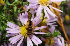 Macro view of the top big fluffy striped caucasian flower flies. Are with open wings collects nectar with white and pink flower Alpine aster Royalty Free Stock Photo