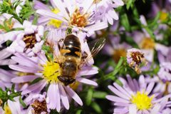 Macro view of the top of Caucasian big fluffy flower flies are w. Ith open wings collecting nectar and pollen from a white and pink flower Alpine aster Royalty Free Stock Photos