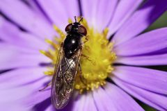 Macro view of the top of Caucasian yellow-black striped flies ar Royalty Free Stock Image