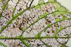 Macro view transparent linden leaf skeleton texture pattern. Natural changes concept. Organic aging process, close-up photography Stock Image