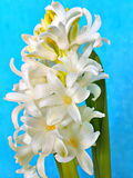 Macro view of white flowers of Hyacinthus Royalty Free Stock Photography
