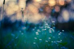 Macro view of wild flower in sunset with bokeh. Royalty Free Stock Image