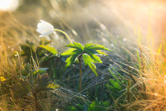 Macro view of wild white flower in sunshine. Macro view of wild white flower in sunshine with bokeh Stock Photo