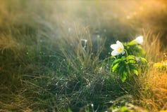 Macro view of wild white flower in sunshine. Royalty Free Stock Photos