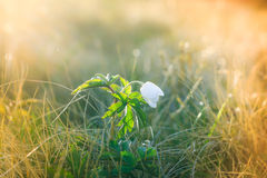 Macro view of wild white flower in sunshine with bokeh. Royalty Free Stock Photography