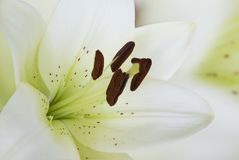 Macro white lily Royalty Free Stock Photos