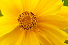 Macro view of a yellow flower Stock Image