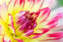 Macro view of a yellow flower dahlia Stock Photography