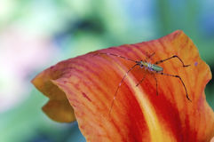 Katydid Nymph. A macro view of a young katydid on an orange flower Stock Images