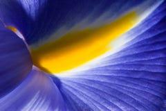 Macro viola dell'iride Immagini Stock
