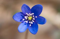 Macro violet Photo libre de droits
