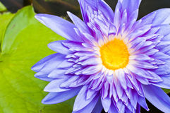 Macro of violet lotus Royalty Free Stock Images