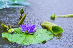 Violet water lily flower in the village pond. Macro: violet water lily flower and its buds in the pond Stock Images