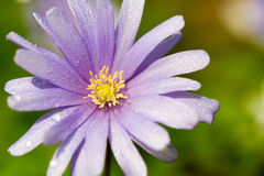 Macro of a violet wood anemone Royalty Free Stock Image