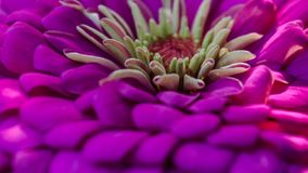 Macro violeta da flor do jardim Fotografia de Stock