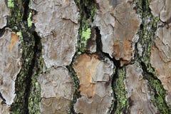 Macro vista della corteccia del pino con muschio ed il lichene fotografia stock libera da diritti