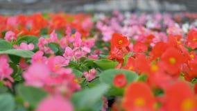 Macro vista sulle cime di fioritura di molte begonie video d archivio