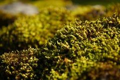 Macro viva del musgo Imagen de archivo libre de regalías