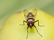 Macro, vlieg het voeden op een rottende tomaat Royalty-vrije Stock Afbeeldingen