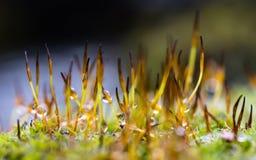Macro vue avec la profondeur du champ de la mousse sensible s'élevant dans le printemps tôt Photo libre de droits