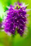 Macro vue de fleur de Hebe images stock