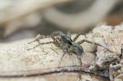 Macro vue en gros plan de petite araignée velue Images stock