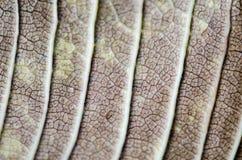Macro vue sur la feuille texturisée de brun d'automne Photos libres de droits