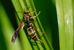 Macro of Wasp on Daylily Leaf. stock photos