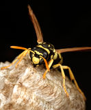 Macro of a wasp in the nest. On black background stock photography