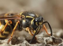 Macro of wasp on nest. Head and torax of a big paper wasp building wasps nest stock image