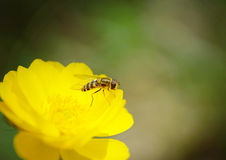 Macro of a wasp sitting on the bright beautiful flower Stock Image