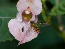 Macro of wasp on wild flower Stock Image