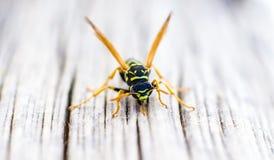 Macro wasp on wooden floor. Stock Images