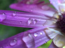 Macro water dews on flower surface Royalty Free Stock Photography