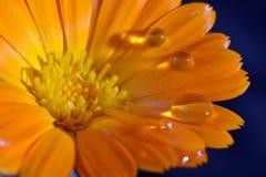 Macro water drop flower Stock Image