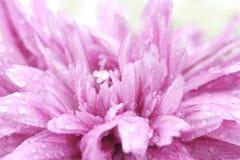 Macro water drop on pink purple flower ,chrysanthemum flower Royalty Free Stock Image