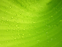 Macro Water droplets on banana leaf. Water droplets on banana leaf Royalty Free Stock Photos