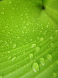 Macro Water droplets on banana leaf. Water droplets on banana leaf Royalty Free Stock Photo
