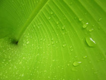 Macro Water droplets on banana leaf. Water droplets on banana leaf Stock Photos