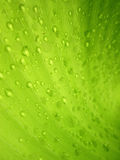 Macro Water droplets on banana leaf. Water droplets on banana leaf Royalty Free Stock Image