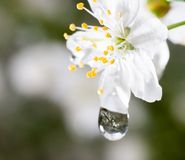 Macro water drops on cherry blossom Royalty Free Stock Photo
