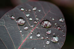 Macro Water Drops on a Dark Red Leaf Royalty Free Stock Images