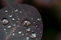 Macro Water Drops on a Dark Red Leaf Stock Image