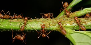 Macro of weaver ants (Oecophylla smaragdina) Stock Image