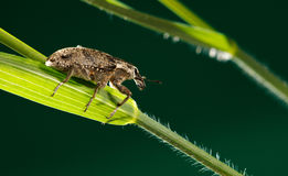 Macro of weevil on cereal stock image