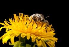 Macro of weevil en face Royalty Free Stock Photo