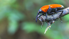 Macro weevil insect Stock Image