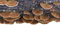Free Macro Wet Brown Bracket Fungus On Wood Isolated On White. Saved Royalty Free Stock Photo - 81036245
